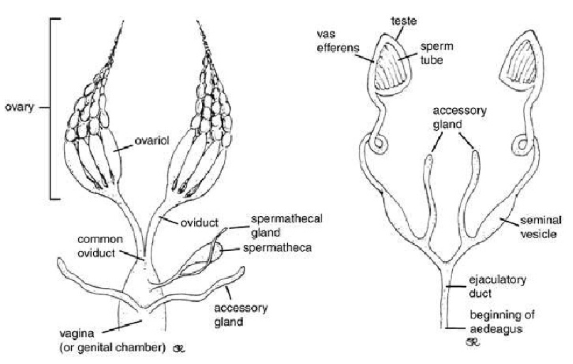 Female reproductive tract(left) and male reproductive tract(right)