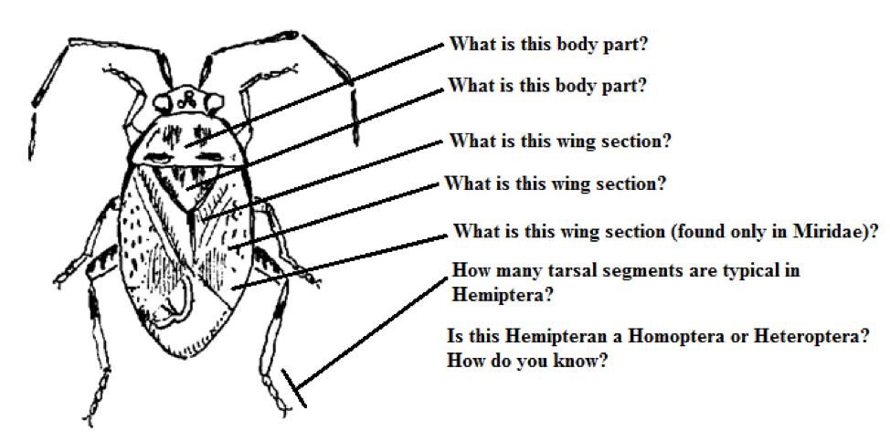 Labeling each body part of Hemiptera Bauplan.