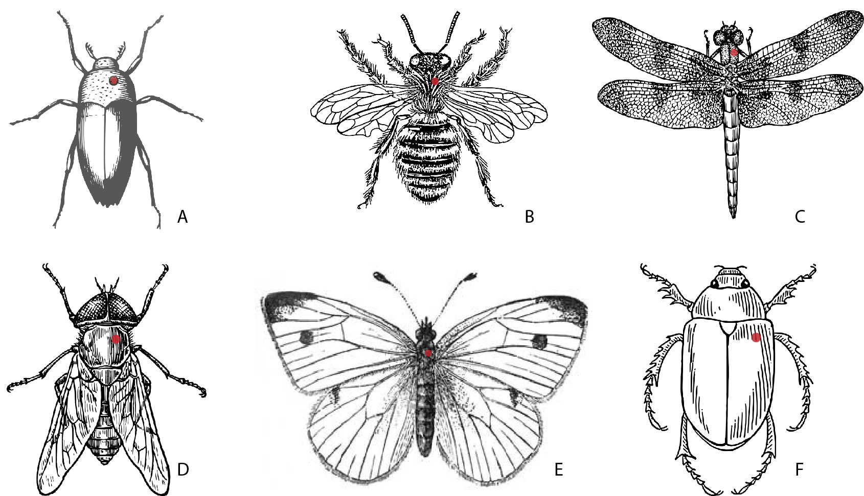 Figure 1-10: Diagram of ideal location to pin insects by type.