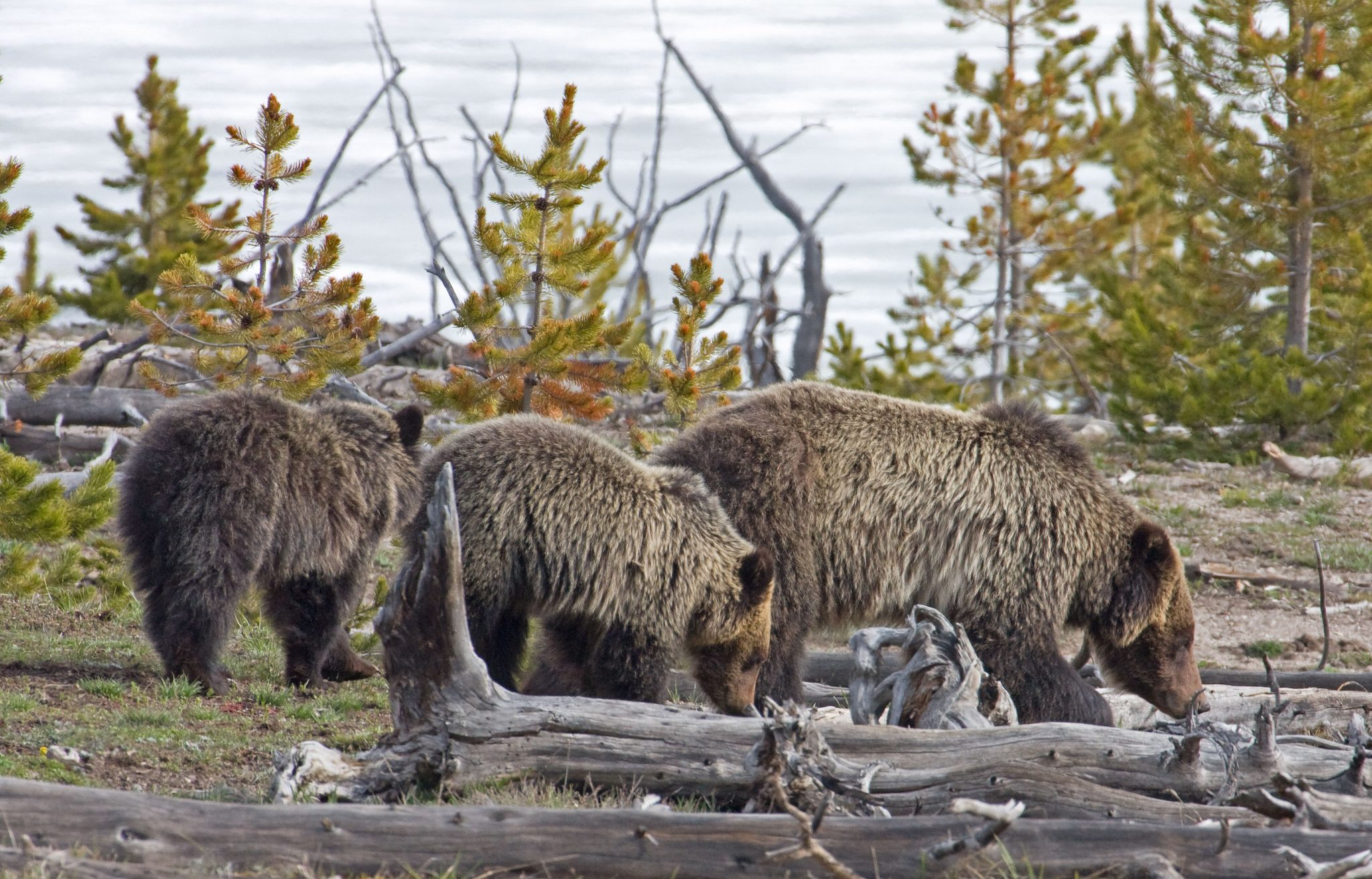 Grizzly bear family in the Greater Yellowstone Ecosystem.
