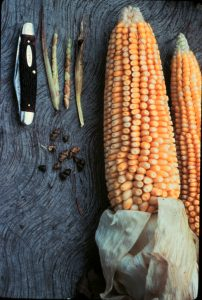 Maize is a product of artificial selection by human. A comparison of maize's ancestor teosinte (Zea mays ssp. parviglumis) and maize (Zea mays).