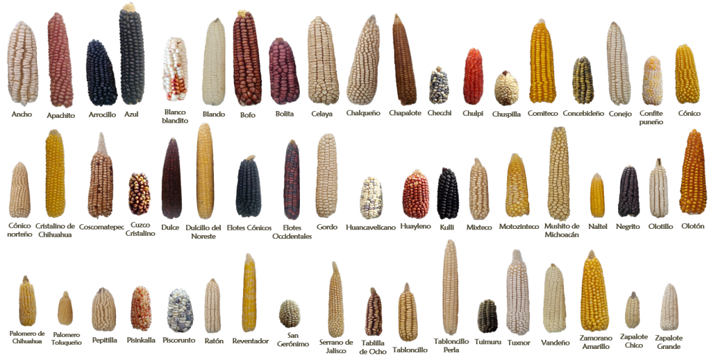 Examples of some of the 59 native Mexican maize landraces.