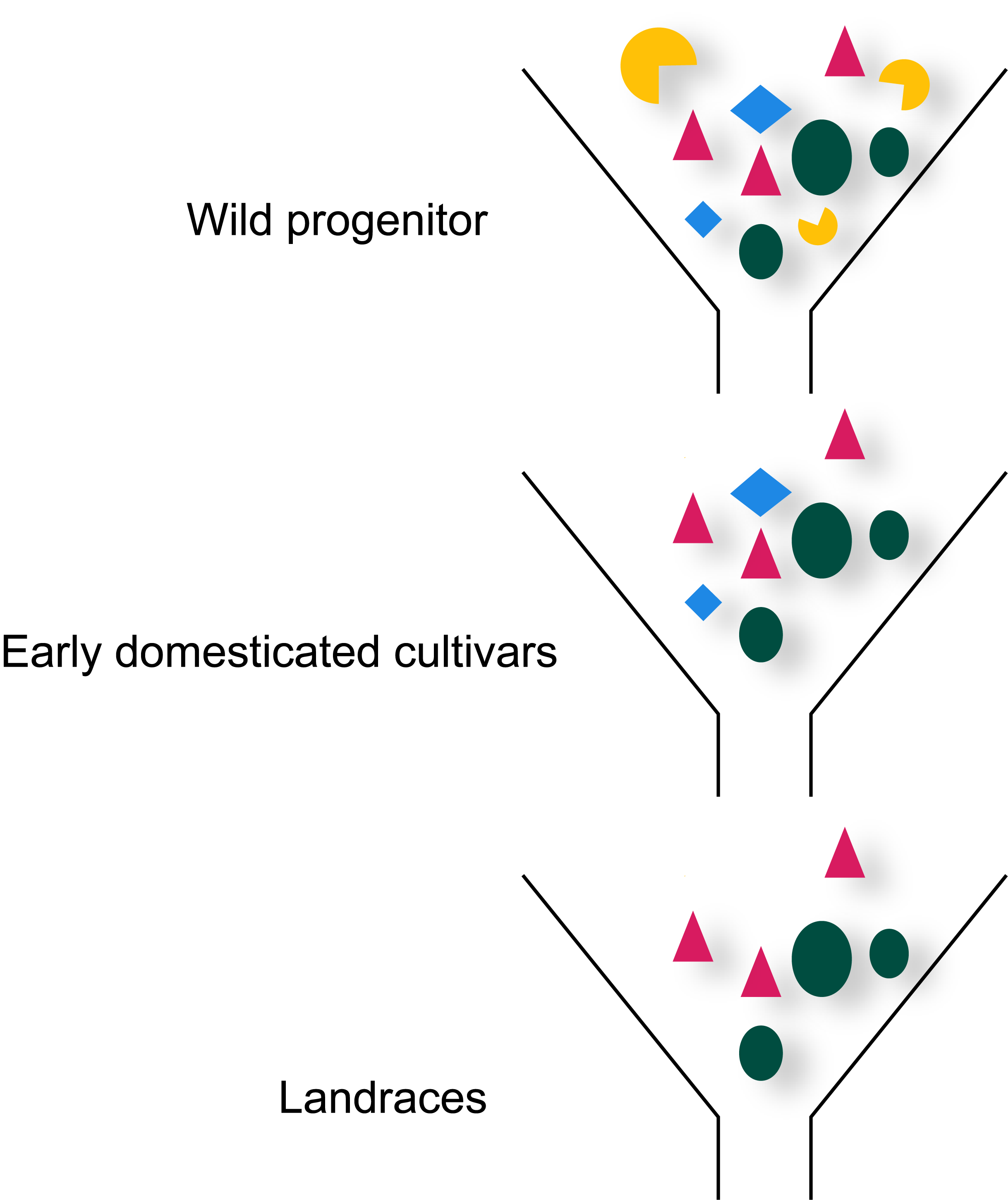 Loss of gene pool during crop domestication due to artificial selection.