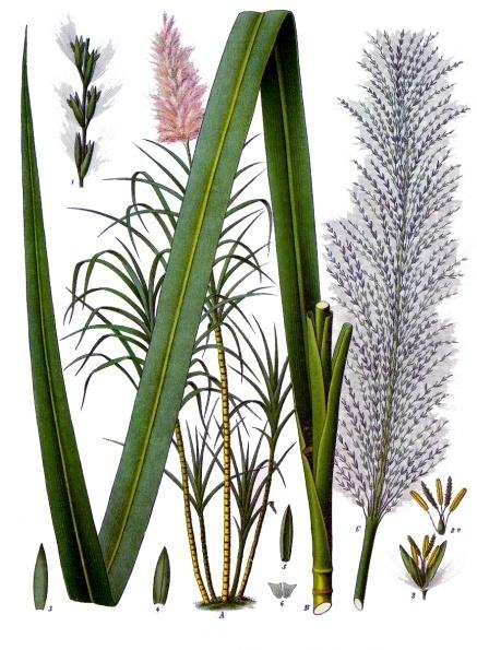 Sugarcane (Saccharum officinarum).