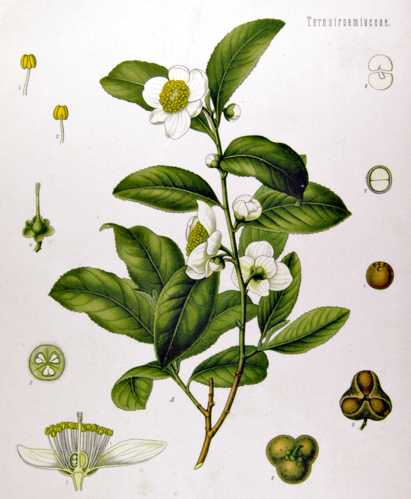 An illustration of tea plant (Camellia sinensis) with cross-section of the flower (lower left) and seeds (lower right).