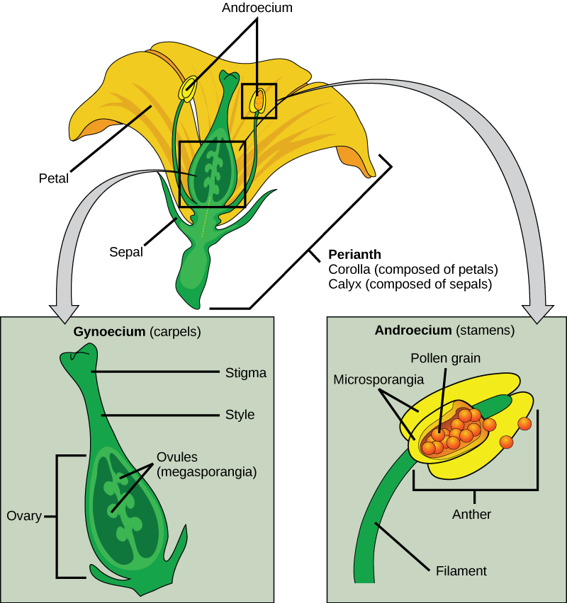 A flower is the reproductive organ of the angiosperms (flowering plants). A typical flower has four main parts—or whorls—known as the calyx, corolla, androecium, and gynoecium. The function of a flower is to produce gametes (egg cells and sperm cells), mediate the union of male and female gametes (pollination) thus forming zygotes (fertilization) with new genetic combinations and site of seed set.