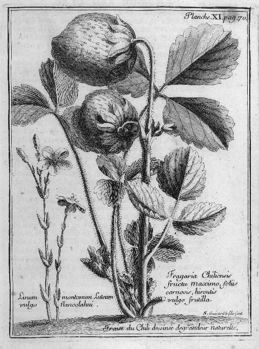 An illustration of Fragaria chiloensis (beach strawberry) by Amédée François Frézier (published in 'A voyage to the South-sea, and along the coasts of Chili and Peru, in the years 1712, 1713, and 1714.')