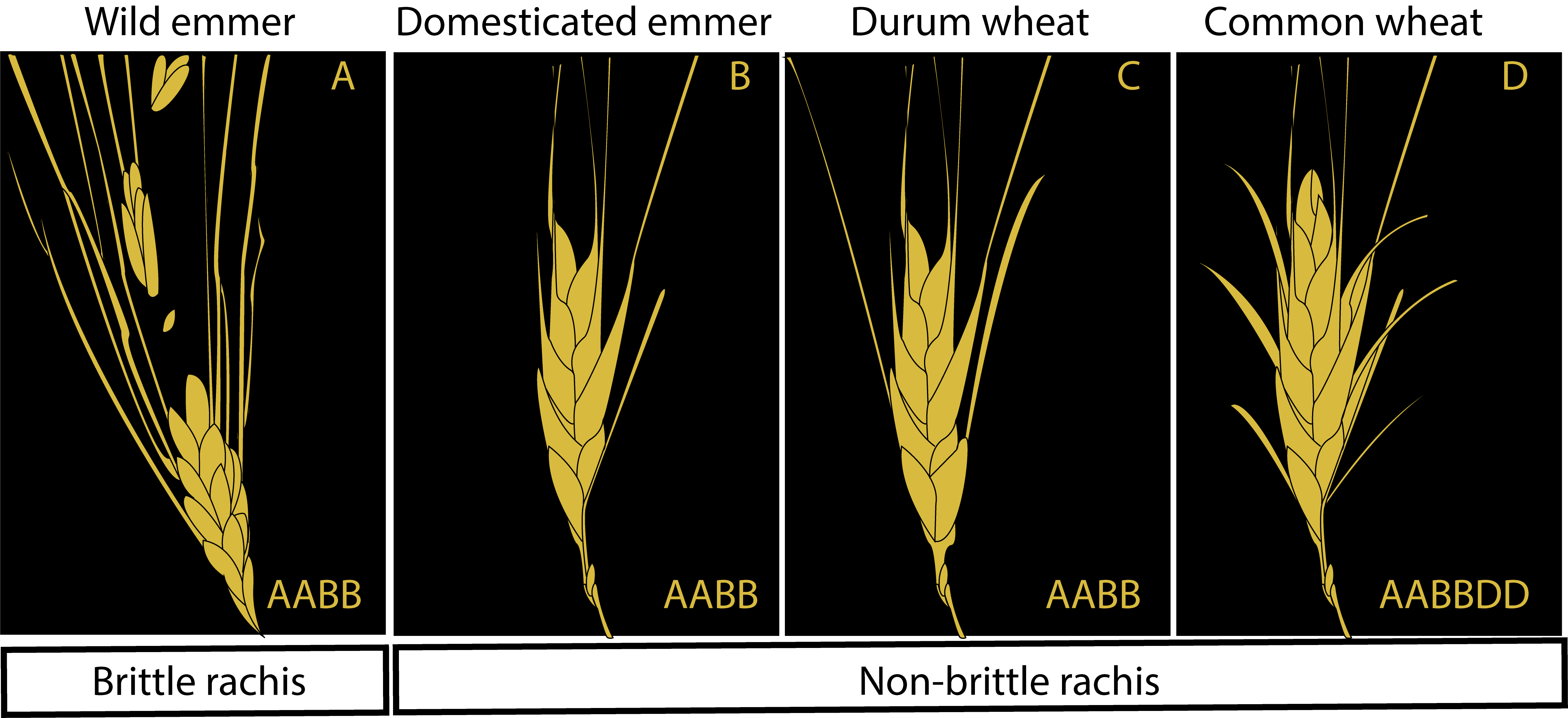 Mature seeds of the domesticated wheat species do not shatter.
