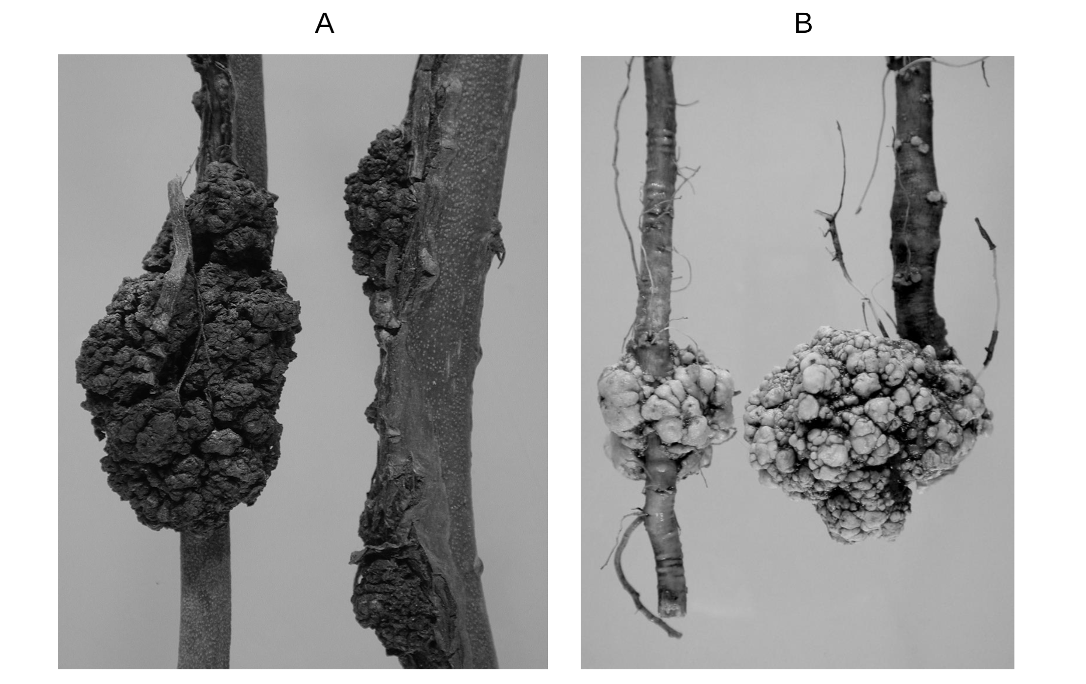 Crown galls in blueberry stem (A), and apple root (B) infected with Agrobacterium.