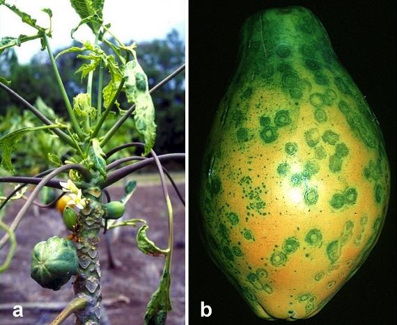 Image of Papaya Ringspot Virus symptoms on trees and fruit.