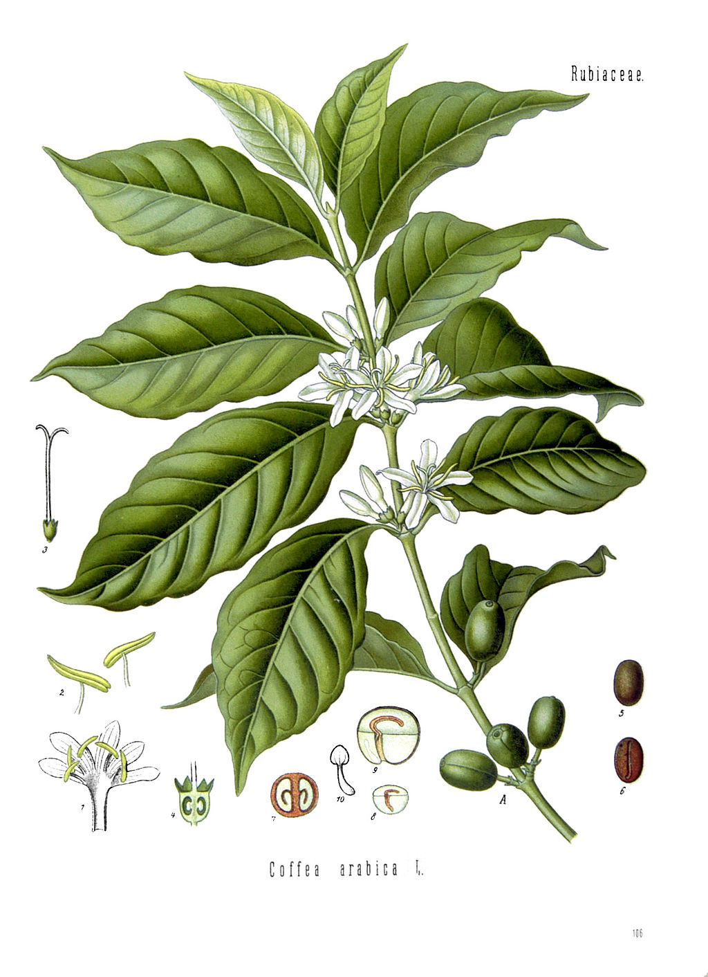 Illustration of coffee plant