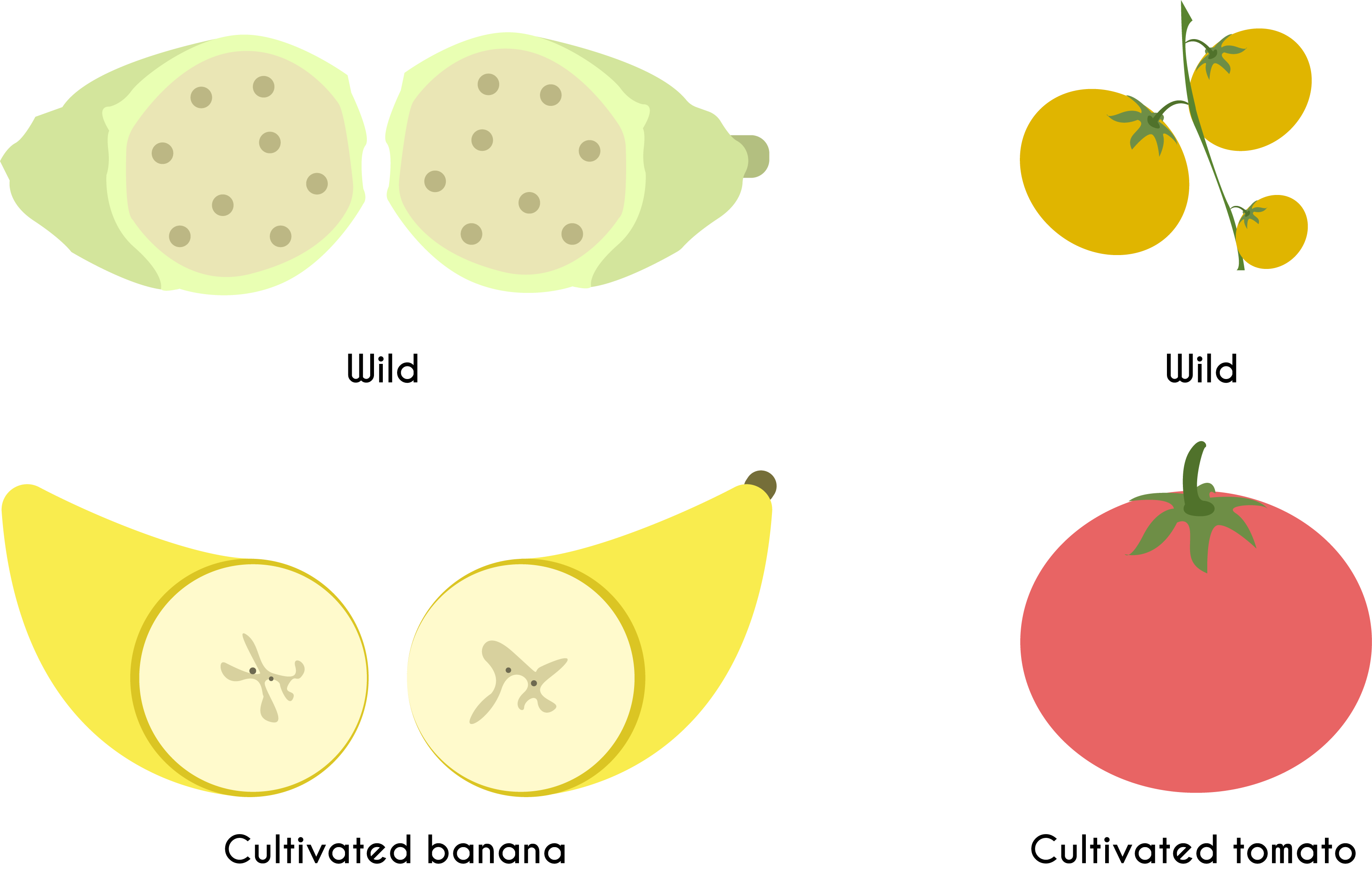 Changes in crop plants as a result of artificial selection