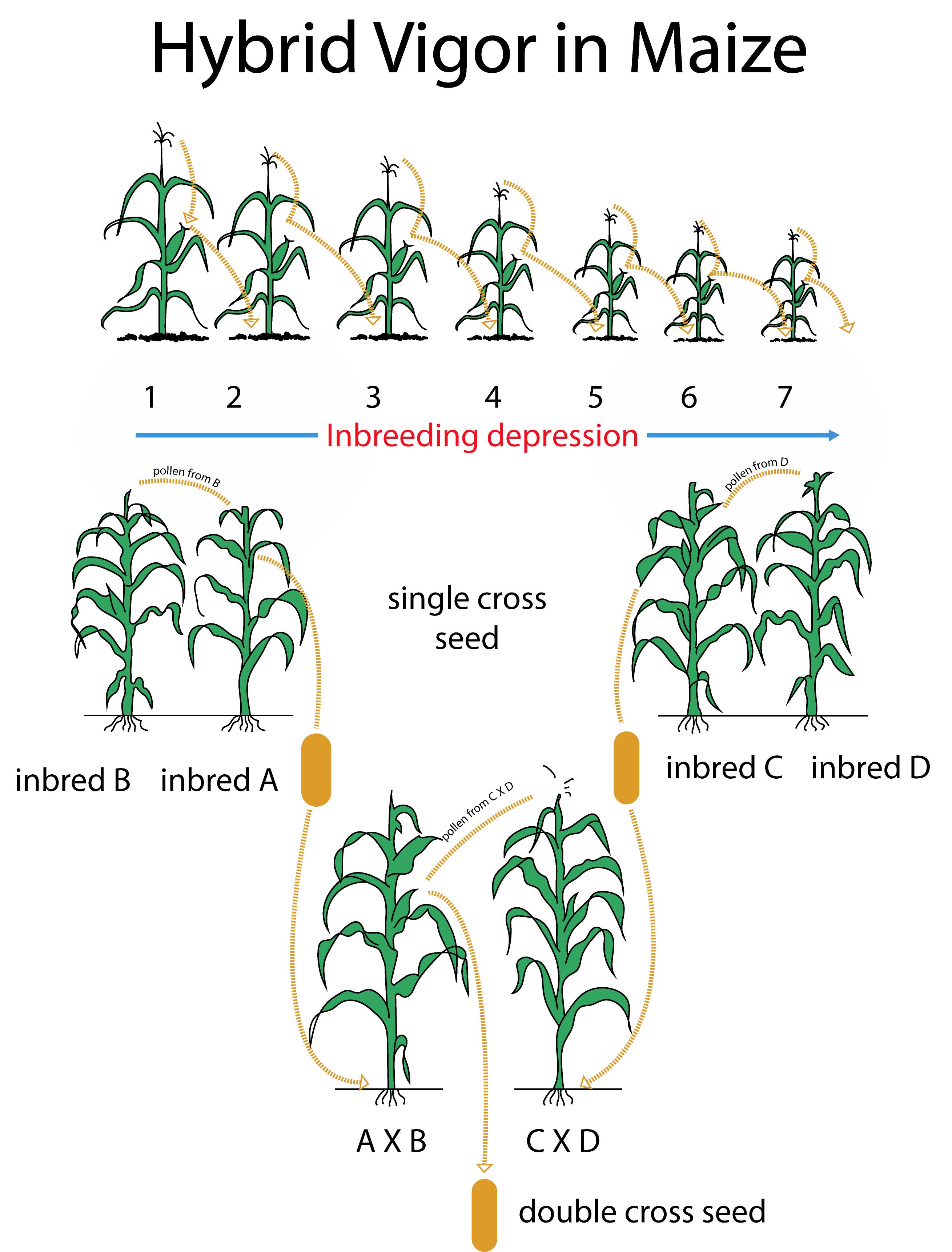 Inbreeding depression and Hybrid vigor in maize