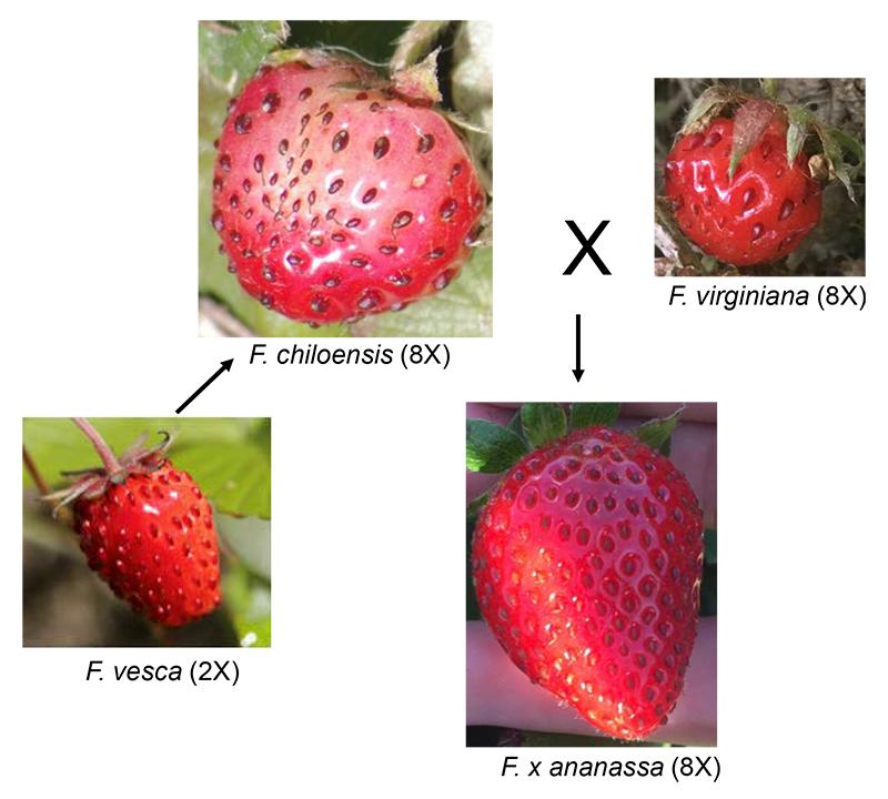 Fig 4.5 Garden strawberry, Fragaria x ananassa is an octoploid hybrid