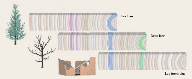 Long tree ring chronologies can be constructed by matching overlapping patters of different trees.