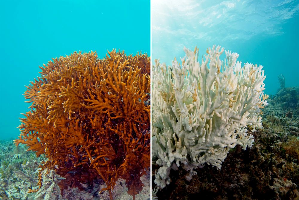 Healthy (left) and bleached (right) coral.
