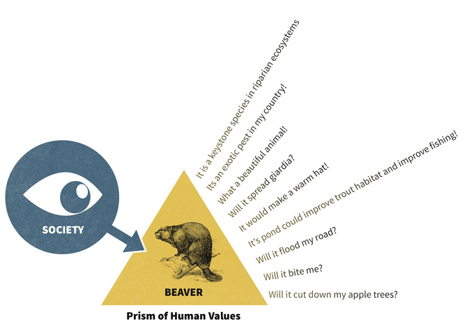 Figure 4.1. Society places many values on natural resources, and those values change over time. How would you develop a socially relevant monitoring plan for beaver populations? R. M. Muth (unpubl. data) suggested that society views resources through a prism of values. One segment of society may be most concerned with the incidence of Giardia in a beaver population, another with the degree of damage to property and another with their impact on wetland development. A monitoring plan that is carried out over time must consider to the degree possible those values that society may find important in future years as human populations grow, economic indicators change, and technology advances.