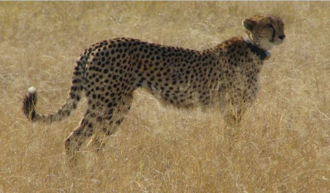 Figure 8.4. Cheetah with a radio collar at Moremi Wildlife Reserve, Botswana. Photo by Nancy McGarigal and used with her permission.