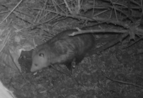 Figure 8.3. Virginia opossum attracted to a hair snare baited with apples. Baiting can attract animals and may increase the likelihood of detecting a species but may also give a biased index to abundance.