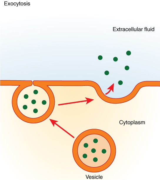 This figure shows the process of exocytosis. A vesicle is shown fusing with the membrane and then releasing its contents into the extracellular fluid.