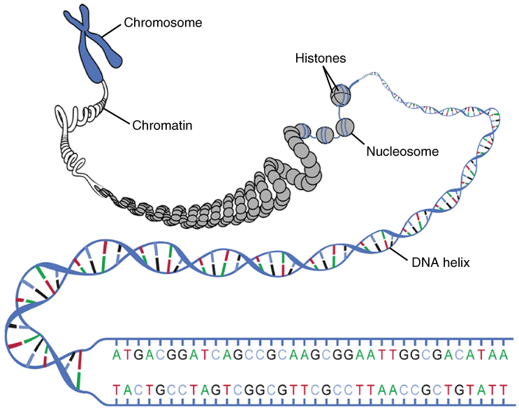 This diagram shows the macrostructure of DNA. A chromosome and its component chromatin are shown to expand into nucleosomes with histones, which further unravel into a DNA helix and finally into a DNA ladder.