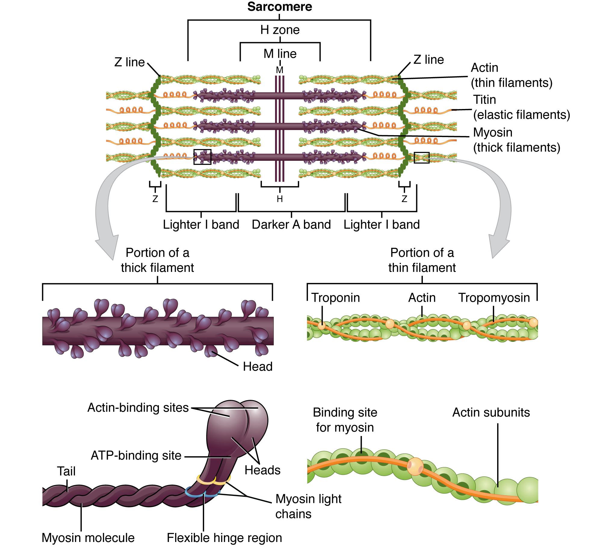 This figure shows the structure of thick and thin filaments. On the top of the image a sarcomere is shown with the H zone, Z line and M lines labeled. To the right of the bottom panel, the structure of the thick filament is shown in detail. To the left of the bottom panel, the structure of a thin filament is shown in detail.
