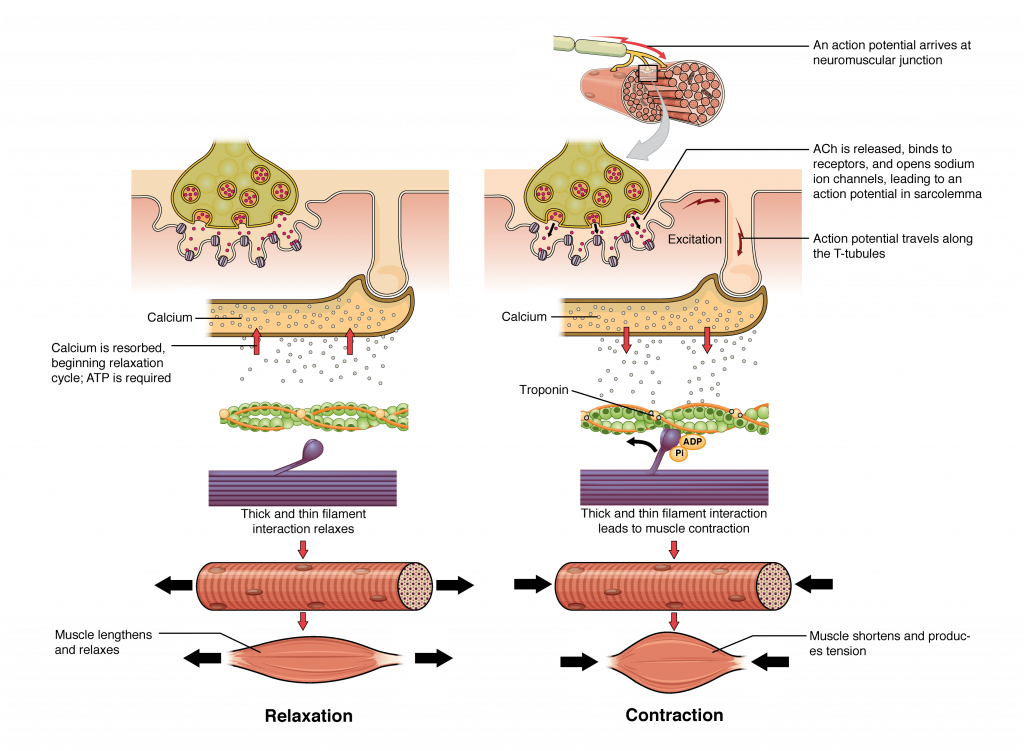 The top left panel in this figure shows the interaction of a motor neuron with a muscle fiber and how calcium is being absorbed into the muscle fiber. This results in the relaxation of the thin and thick filaments as shown in the bottom panel. The top right panel in this figure shows the interaction of a motor neuron with a muscle fiber and how the release of acetylcholine into the muscle cells leads to the release of calcium. The middle panel shows how calcium release activates troponin and leads to muscle contraction. The bottom panel shows an image of a muscle fiber being shortened and producing tension.