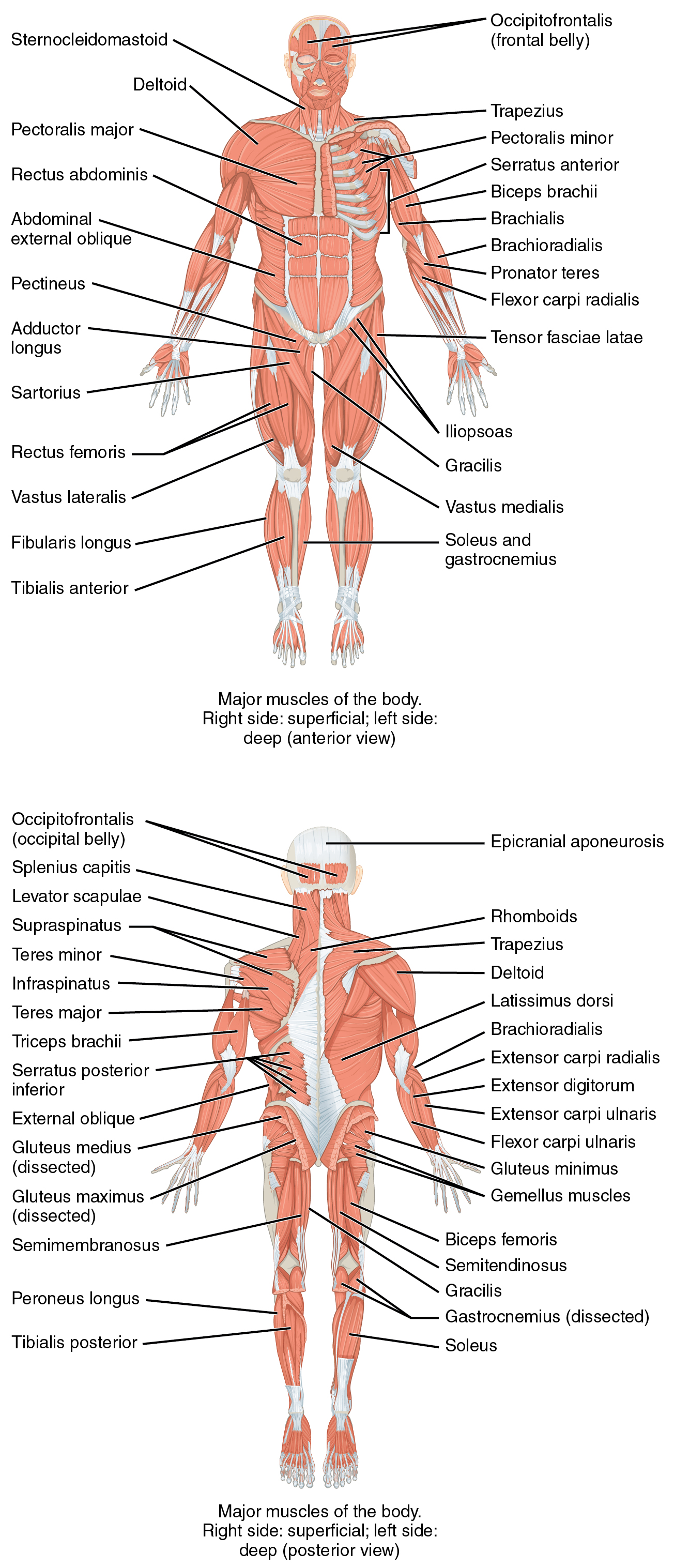 The top panel shows the anterior view of the human body with the major muscles labeled. The bottom panel shows the posterior view of the human body with the major muscles labeled.