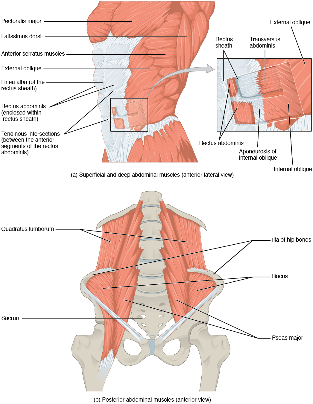 The top panel shows the lateral view of the superficial and deep abdominal muscles. The bottom panel shows the anterior view of the posterior abdominal muscles.