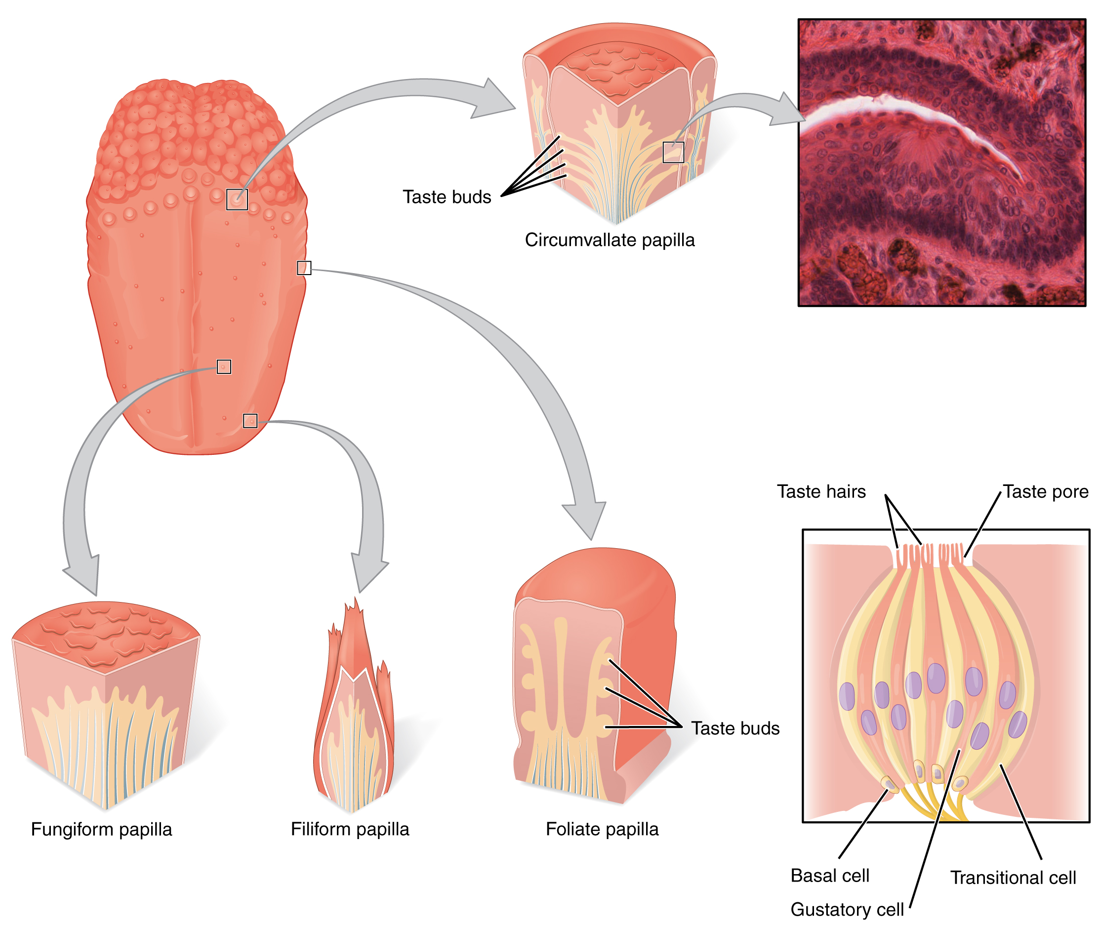 The left panel shows the image of a tongue with callouts that show magnified views of different parts of the tongue. The top right panel shows a micrograph of the circumvallate papilla, and the bottom right panel shows the structure of a taste bud.