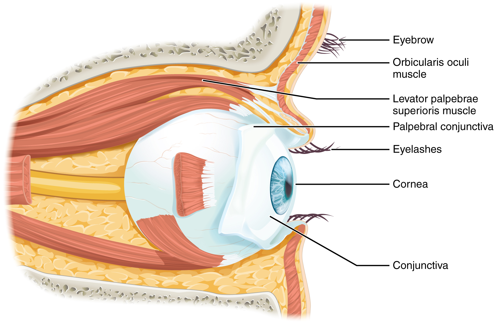 This diagram shows the lateral view of the eye. The major parts are labeled.