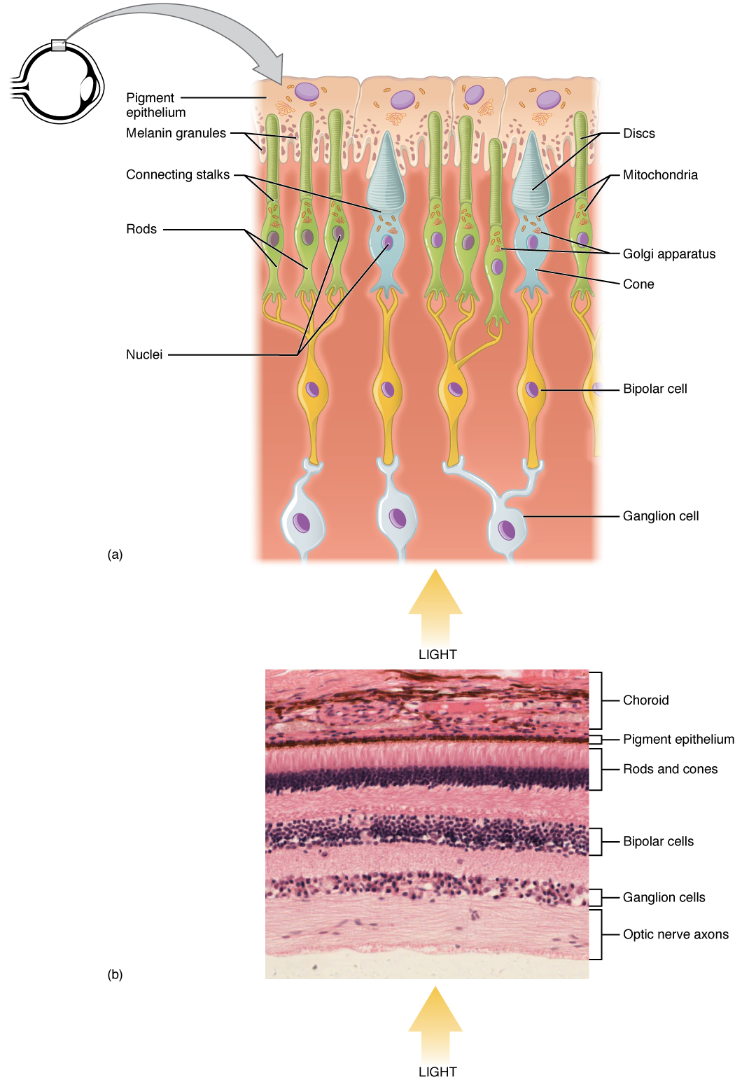 The top panel shows the cellular structure of the different cells in the eye. The bottom panel shows a micrograph of the cellular structure.