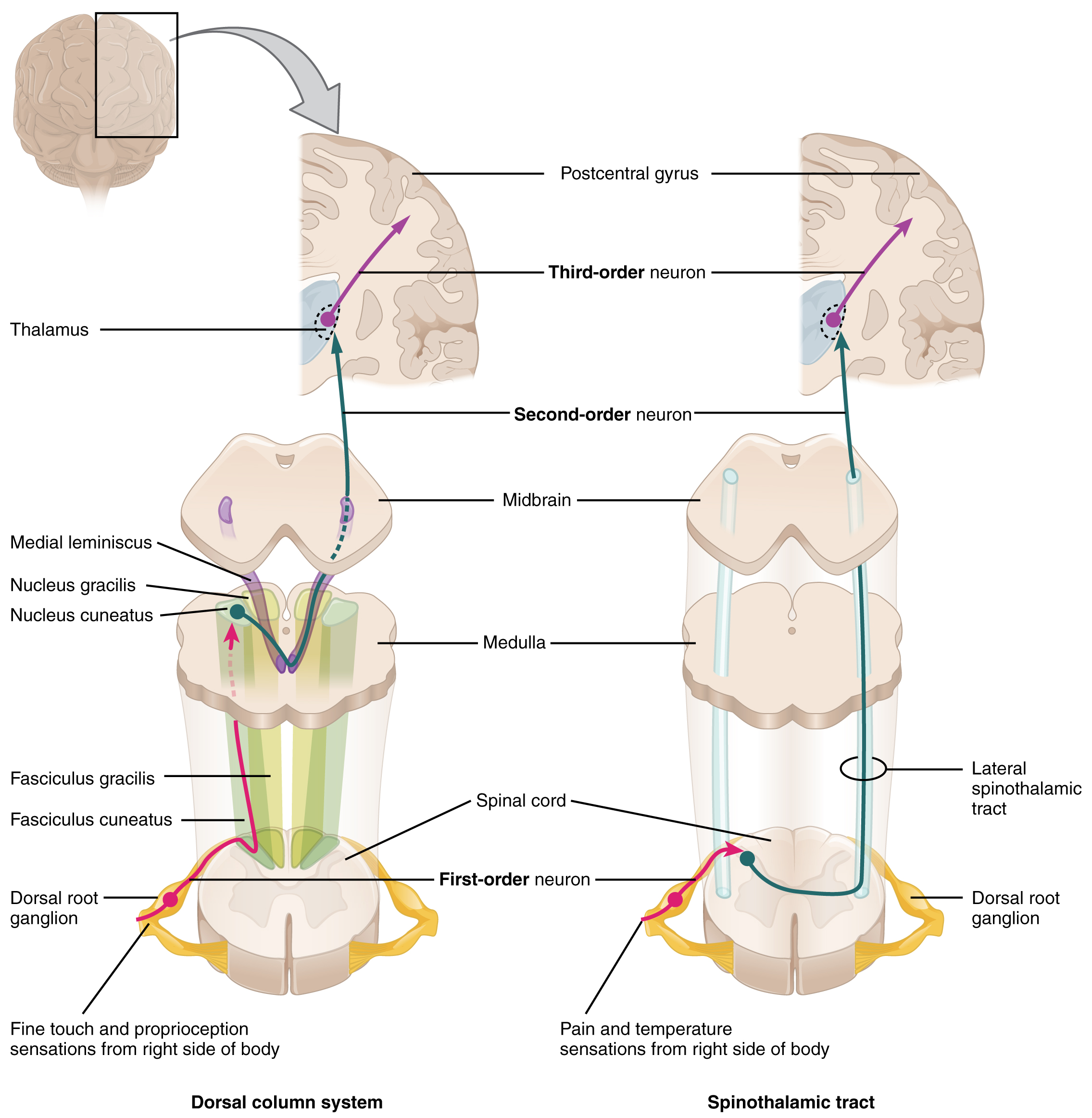 The left panel shows the dorsal column system and its connection to the brain. The right column shows the spinothalamic tract and its connection to the brain.