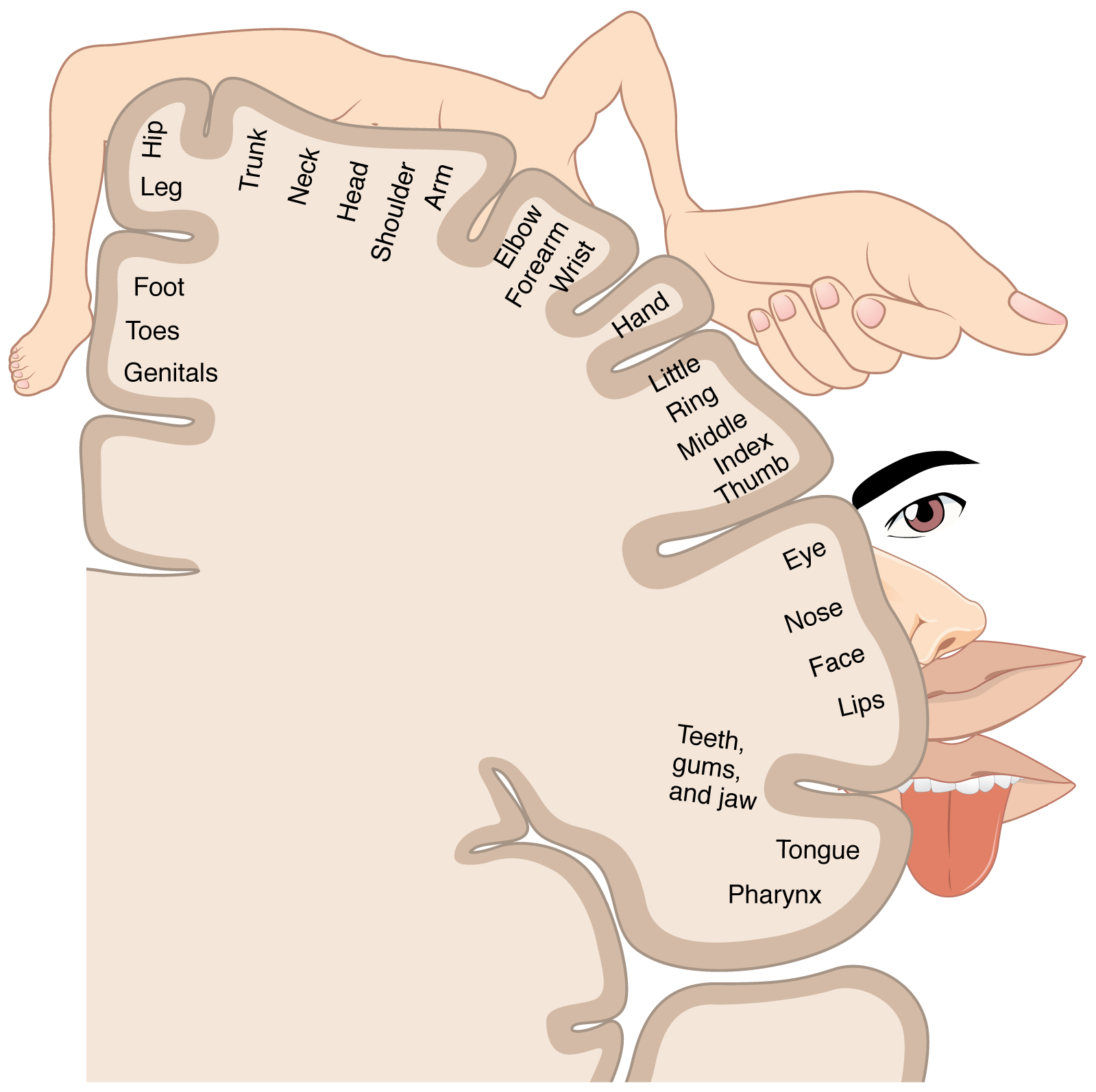 This image shows the areas of the brain that control and respond to the different senses.