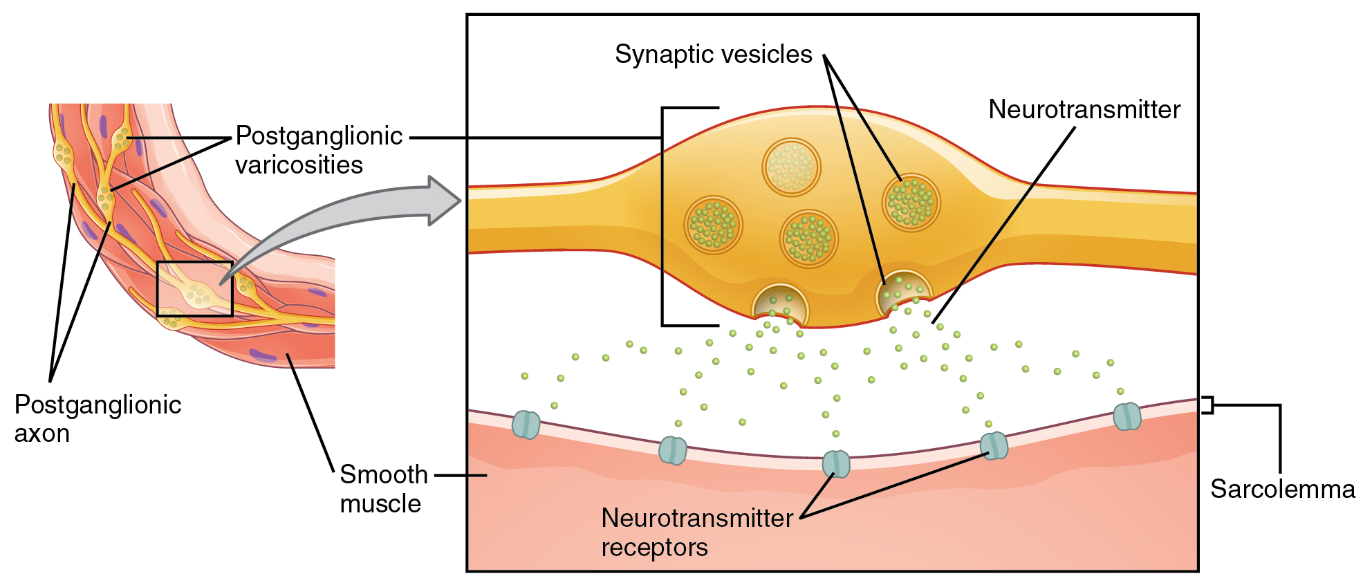 This figure shows the connection between autonomic fibers and the target effectors. The left image shows a slice of smooth muscle with the postganglionic varicosities and the postganglionic axons labeled. The right panel shows a magnified view of the synaptic vesicles, neurotransmitters, and the sarcolemma.