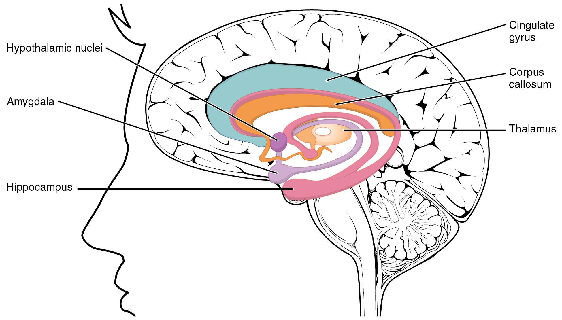 This figure shows the location of the limbic lobe and its major parts in the human brain.