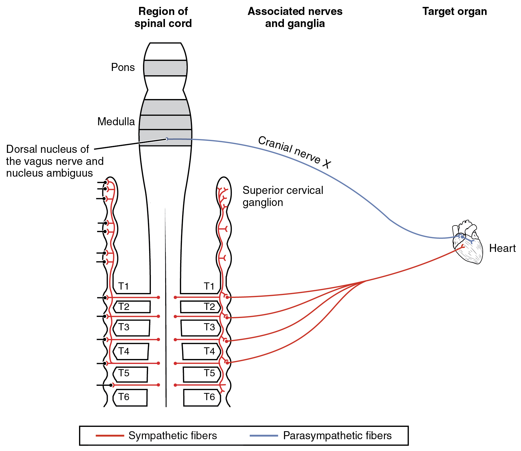 This figure shows the spinal cord and the different nerves that connect to the heart, which is the target organ shown on the right.
