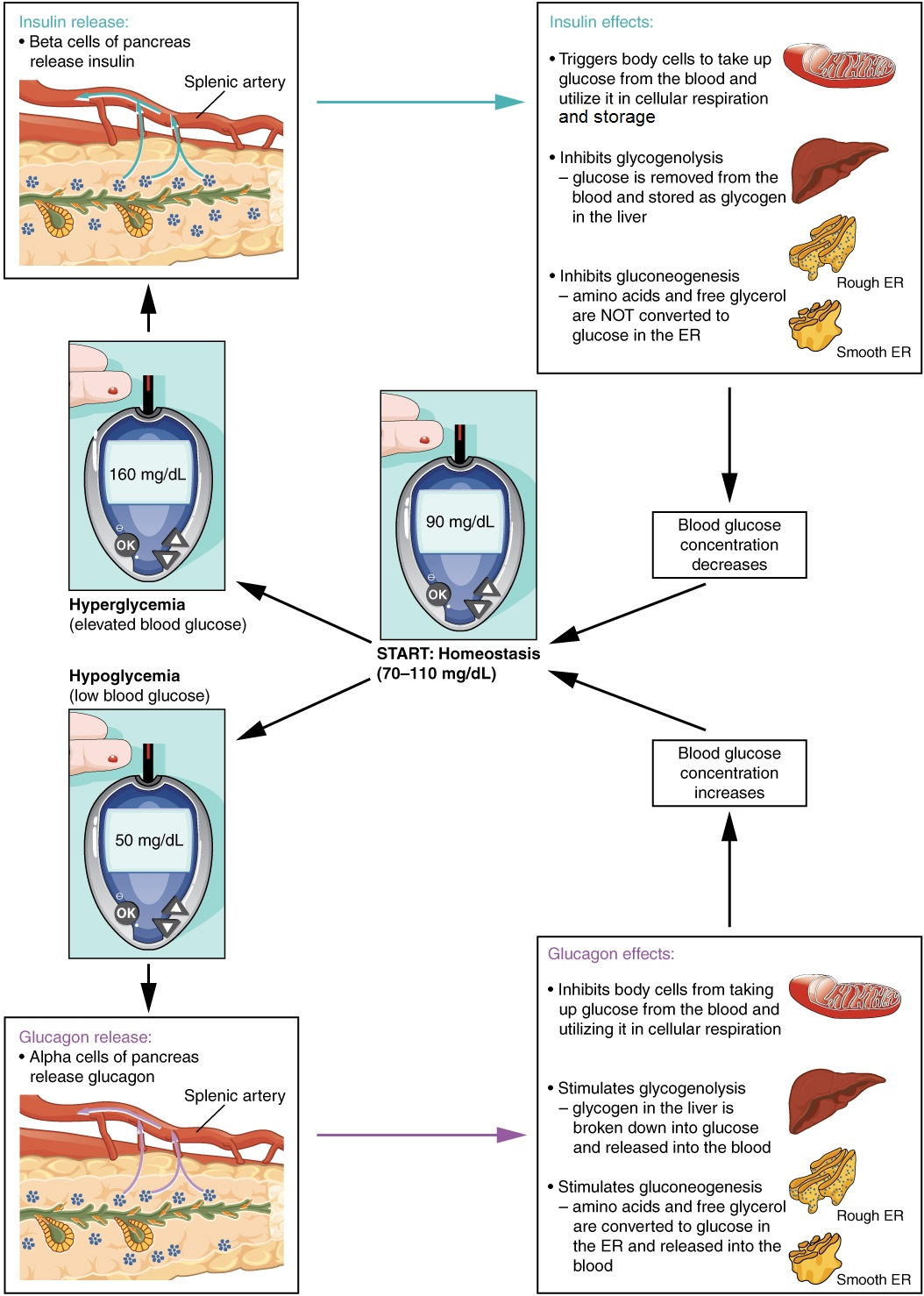 This diagram shows the homeostatic regulation of blood glucose levels. Blood glucose concentration is tightly maintained between 70 milligrams per deciliter and 110 milligrams per deciliter. If blood glucose concentration rises above this range (hyperglycemia), insulin is released from the pancreas. Insulin triggers body cells to take up glucose from the blood and utilize it in cellular respiration. Insulin also inhibits glycogenolysis, in that glucose is removed from the blood and stored as glycogen in the liver. Insulin also inhibits gluconeogenesis, in that amino acids and free glycerol are not converted to glucose in the ER. If blood glucose concentration drops below this range, glucagon is released, which stimulates body cells to release glucose into the blood. All of these actions cause blood glucose concentration to decrease. When blood glucose concentration is low (hypoglycemia), alpha cells of the pancreas release glucagon. Glucagon inhibits body cells from taking up glucose from the blood and utilizing it in cellular respiration. Glucagon also stimulates glycogenolysis, in that glycogen in the liver is broken down into glucose and released into the blood. Glucagon also stimulates glucogenogenesis, in that amino acids and free glycerol are converted to glucose in the ER and released into the blood. All of these actions cause blood glucose concentrations to increase.