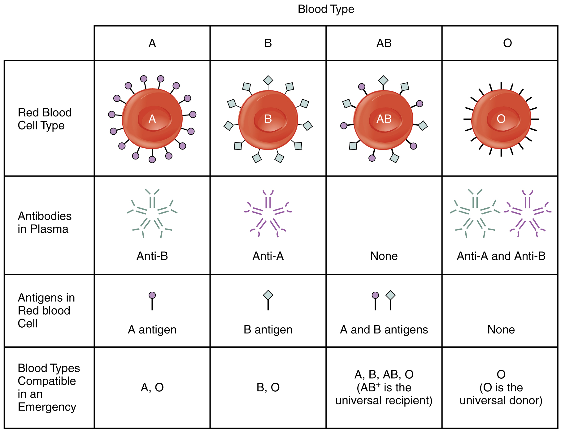 This table shows the different blood types, the antibodies in plasma, the antigens in the red blood cell, and the blood compatible blood types in an emergency.