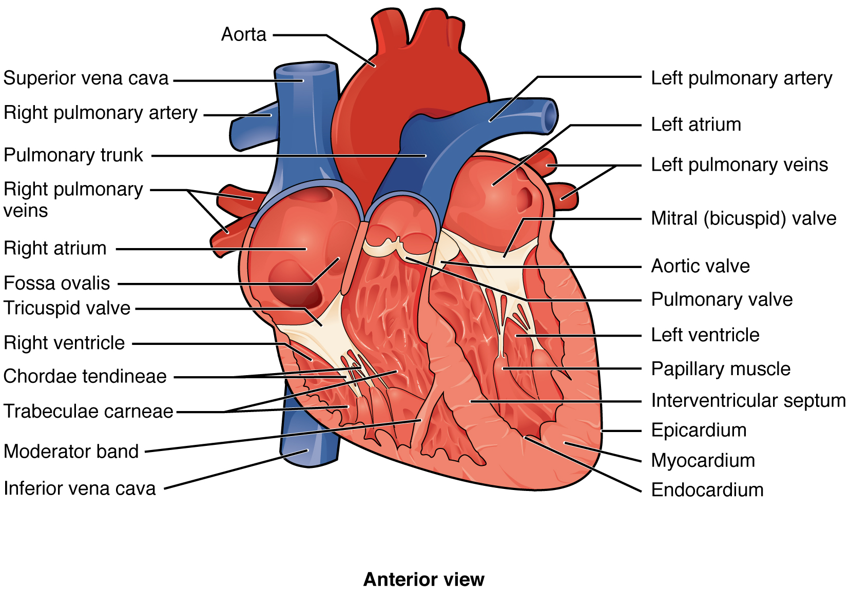 In this figure the top panel shows the image of the heart with the major parts labeled. The bottom left panel shows a photo of the heart with the surface layer peeled off. The images on the bottom right show detailed musculature inside the heart.
