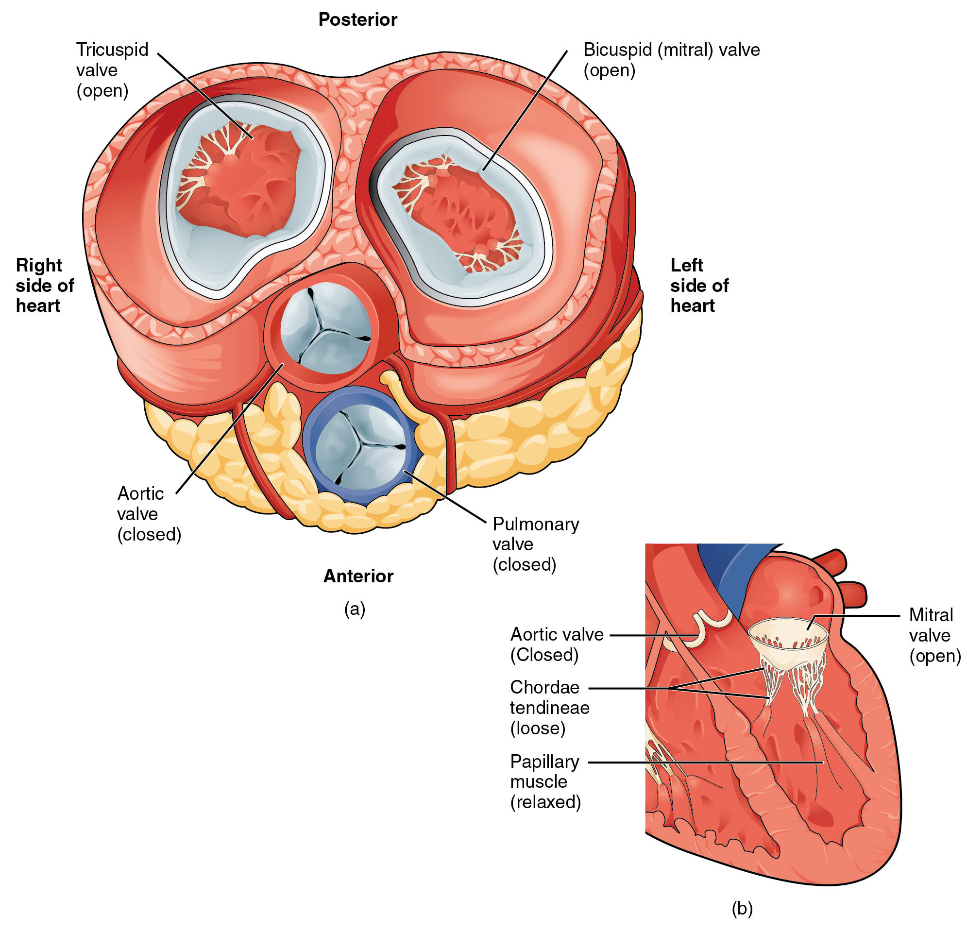 The left panel of this figure shows the anterior view of the heart with the different valves, and the right panel of this figure shows the location of the mitral valve in the open position in the heart.