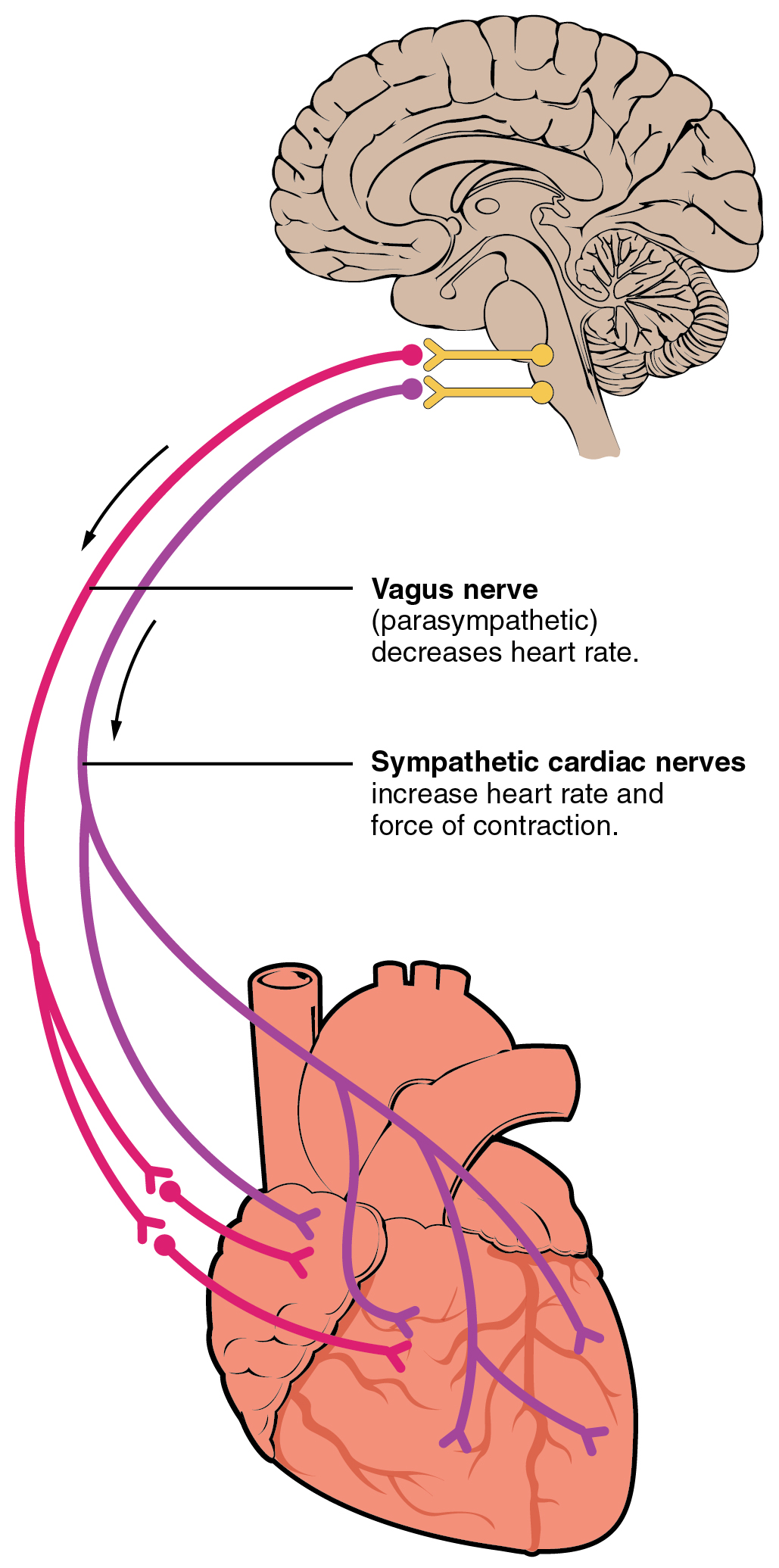 This figure shows the brain and the nerves connecting the brain to the heart.