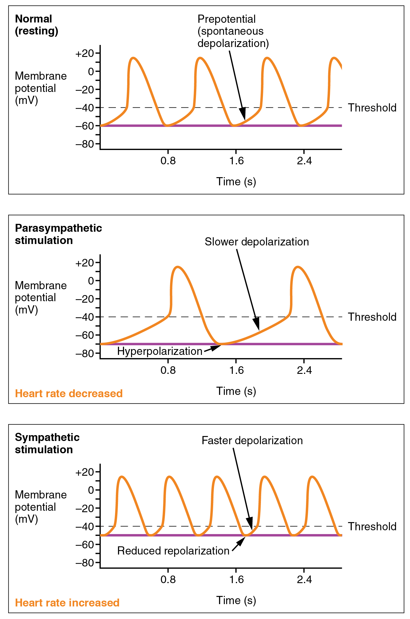 This figure shows three graphs. The top panel shows the normal or resting potential with time. The middle panel shows membrane potential with time in a parasympathetic stimulation where the heart rate is decreased. The bottom panel shows membrane potential with time in a sympathetic stimulation with increased heart rate.