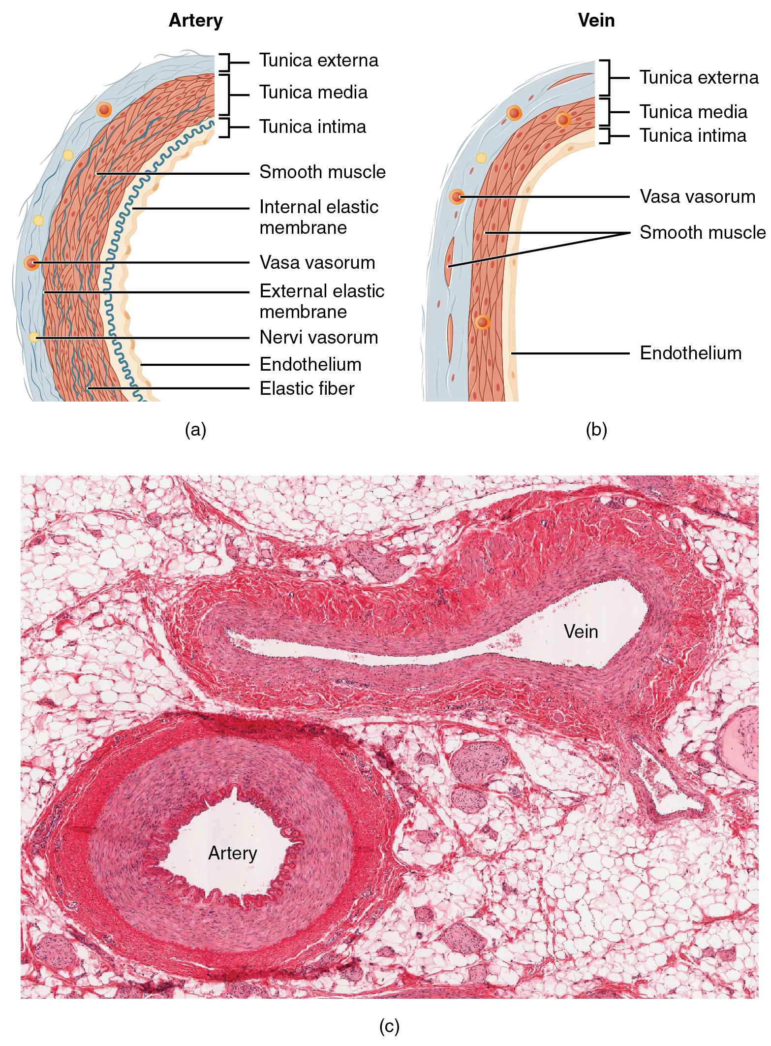The top left panel of this figure shows the ultrastructure of an artery, and the top right panel shows the ultrastructure of a vein. The bottom panel shows a micrograph with the cross sections of an artery and a vein.