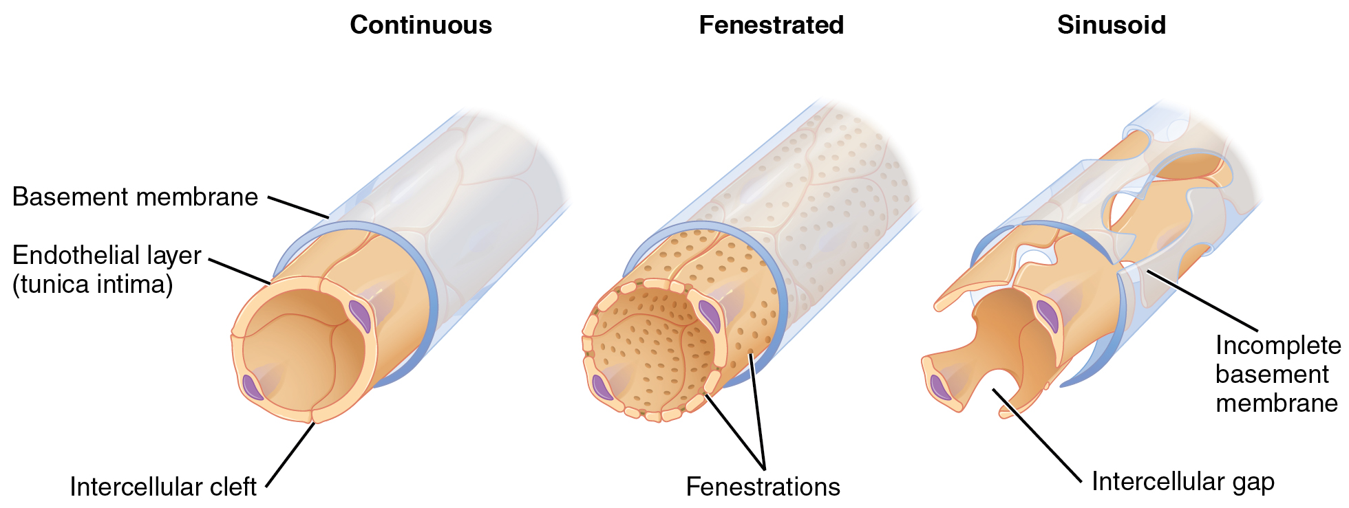 The left panel shows the structure of a continuous capillary, the middle panel shows a fenestrated capillary, and the right panel shows a sinusoid capillary.
