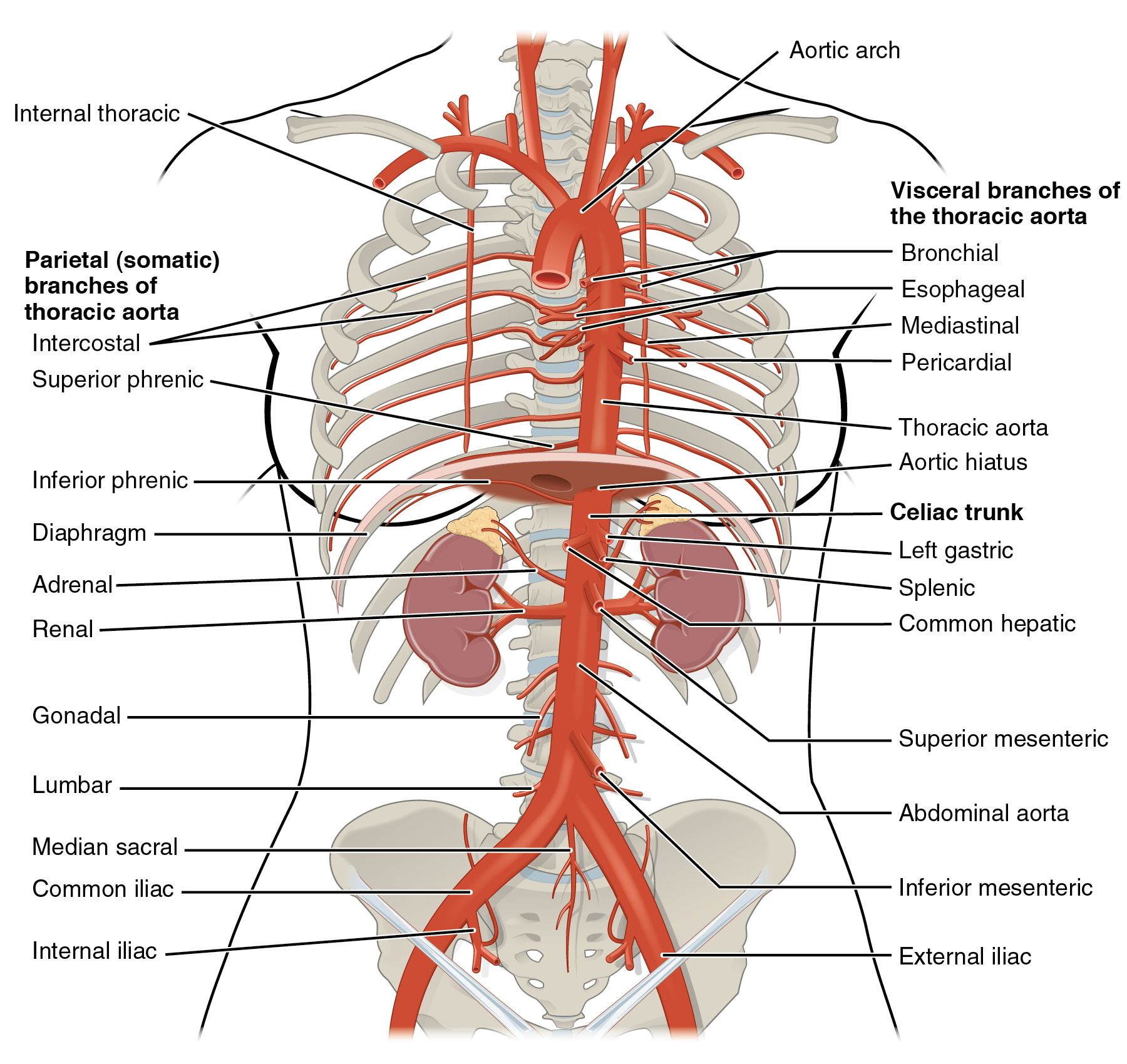 This diagram shows the arteries in the thoracic and abdominal cavity.