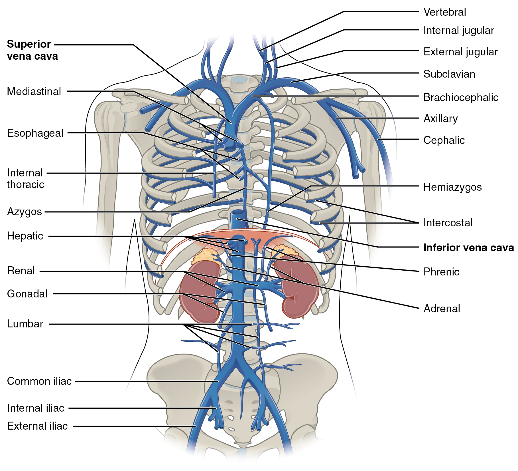 This diagram shows the veins present in the thoracic abdominal cavity.
