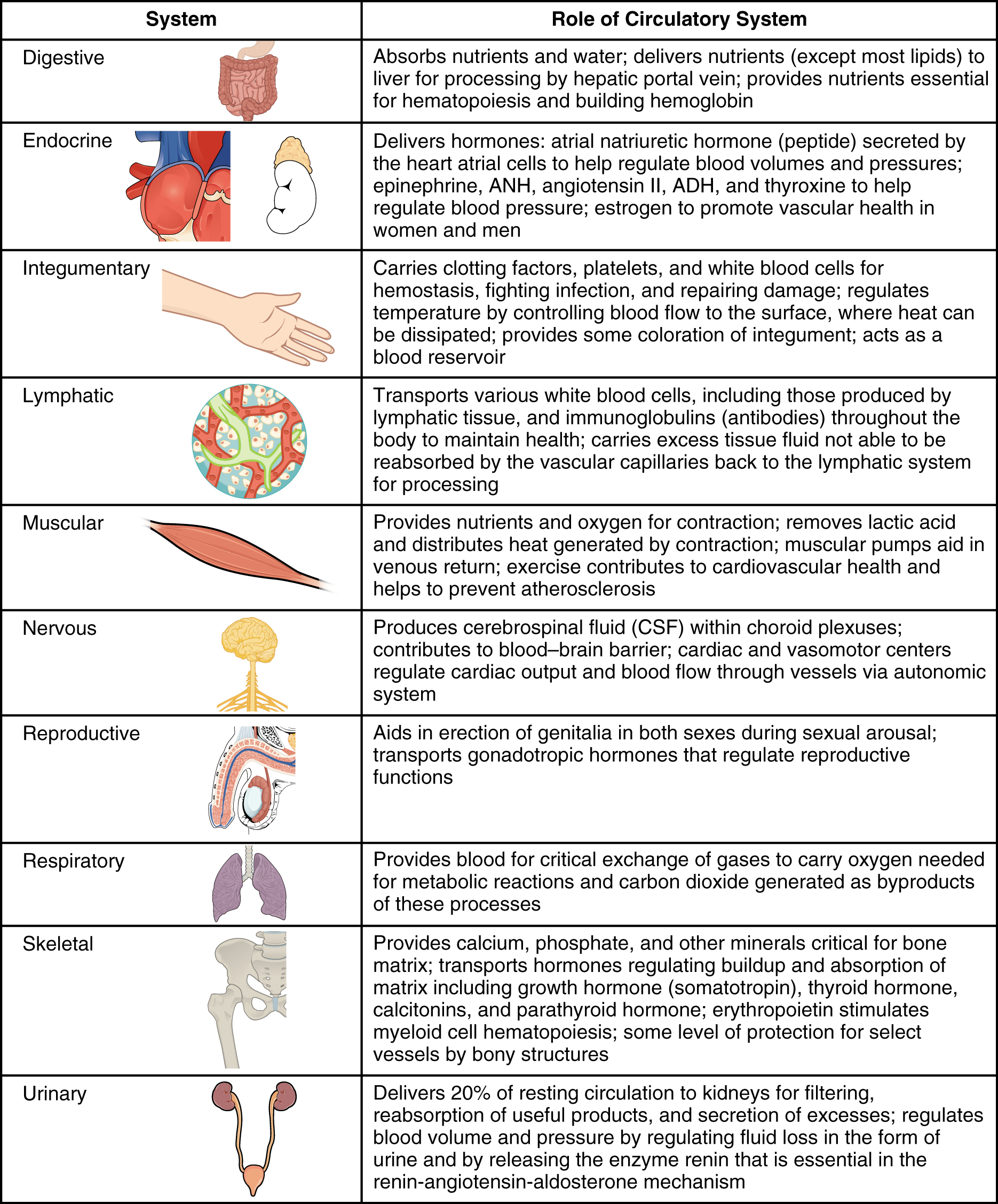 This table outlines the role of the circulatory system in the other organ systems in the body.