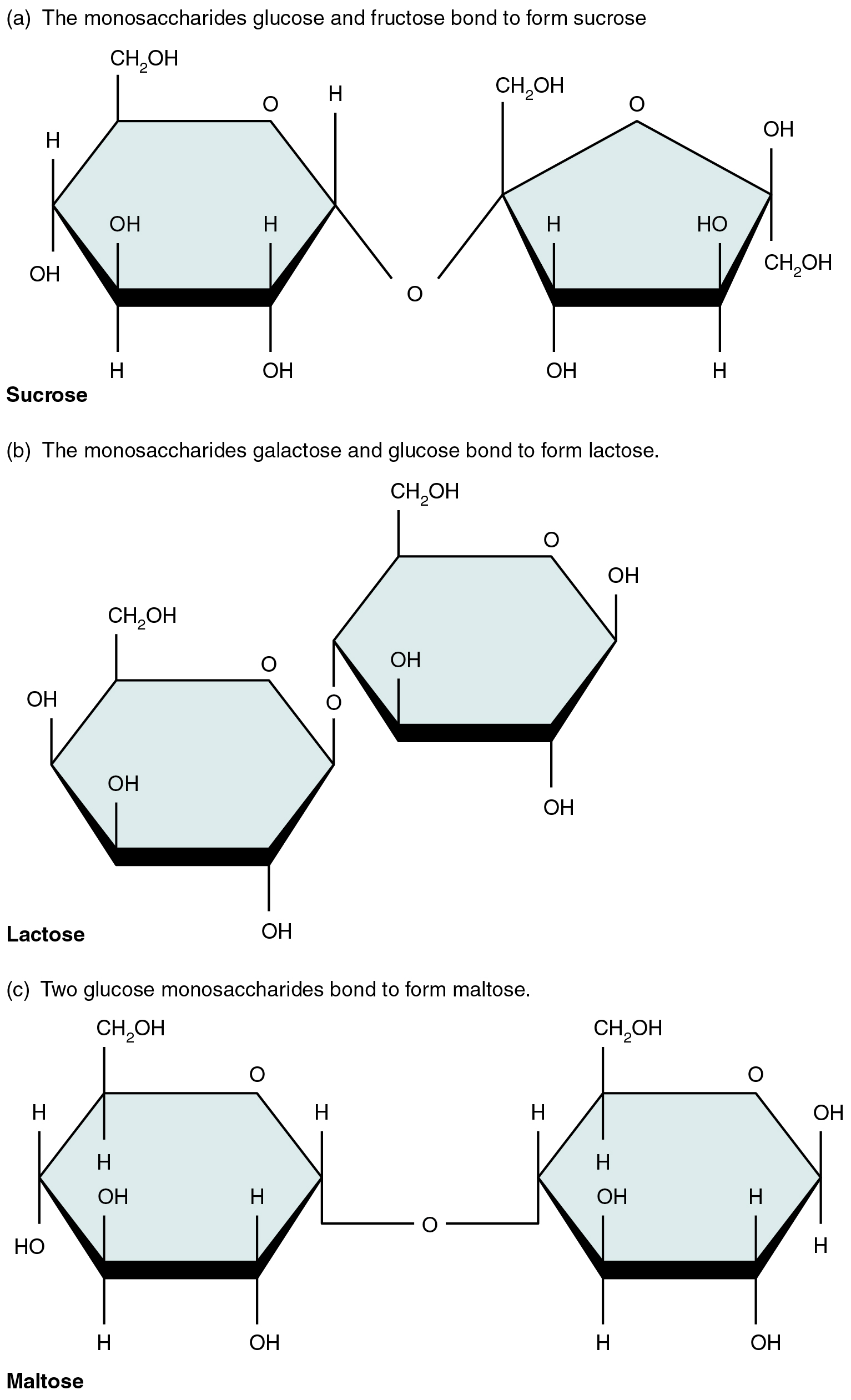 This figure shows the structure of sucrose, lactose, and maltose.