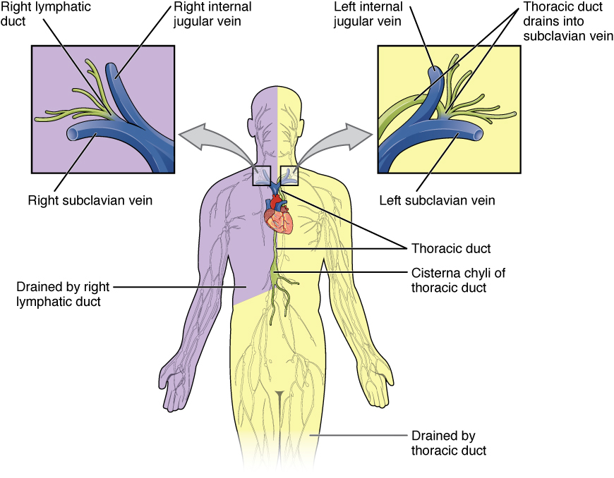 This figure shows the lymphatic trunks and the duct system in the human body. Callouts to the left and right show the magnified views of the left and right jugular vein respectively.